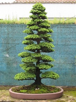 Bonsai tree after 15 years